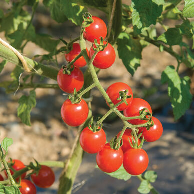 Cherry tomato jasper-4 plants-May