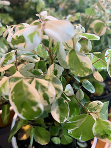 Breynia Snow Bush 4""