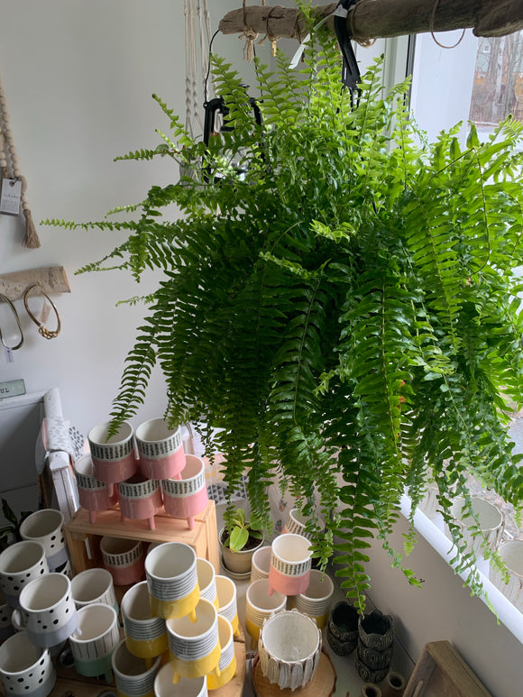 "Hanging 6"" Boston Fern"
