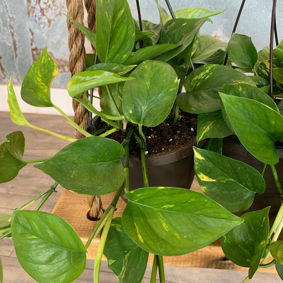 Golden Pothos Hanging Basket