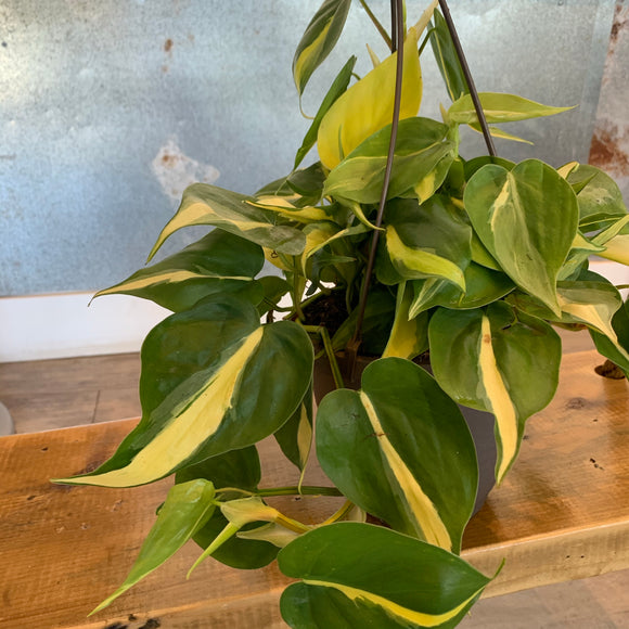 "Brazilian Philodendron 6.5"" Hanging Basket"