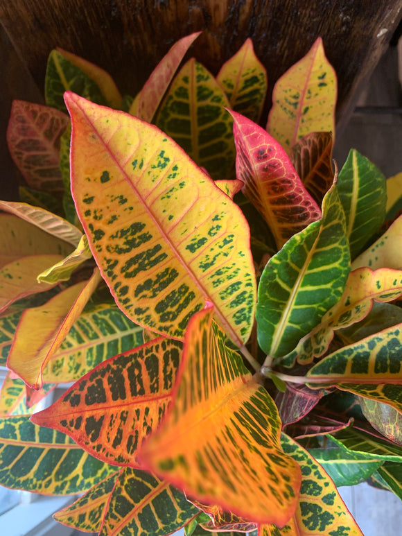 "Croton 10"" Assorted Floor Plant"