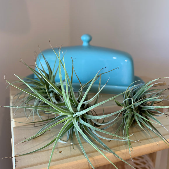 Air Plant - Tillandsia
