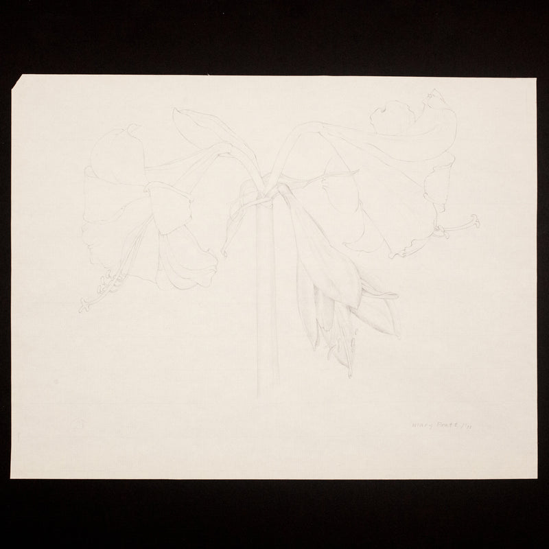 Mary Pratt drawing flowers Amaryllis Caviar20