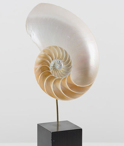 LARGE NAUTILUS ON EBONIZED STAND