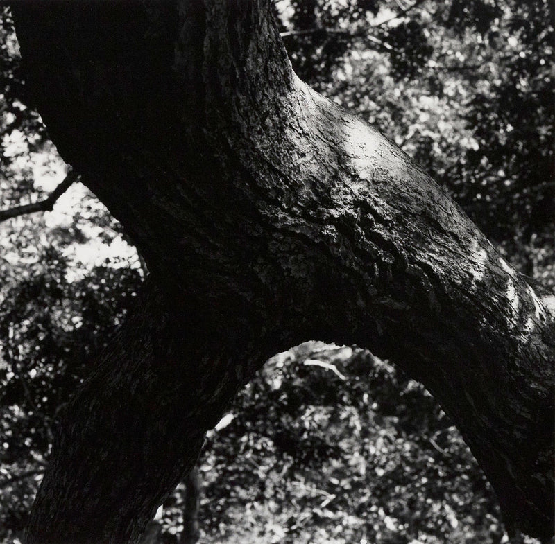 "AARON SISKIND ""THE TREE"" PHOTO, 1972"