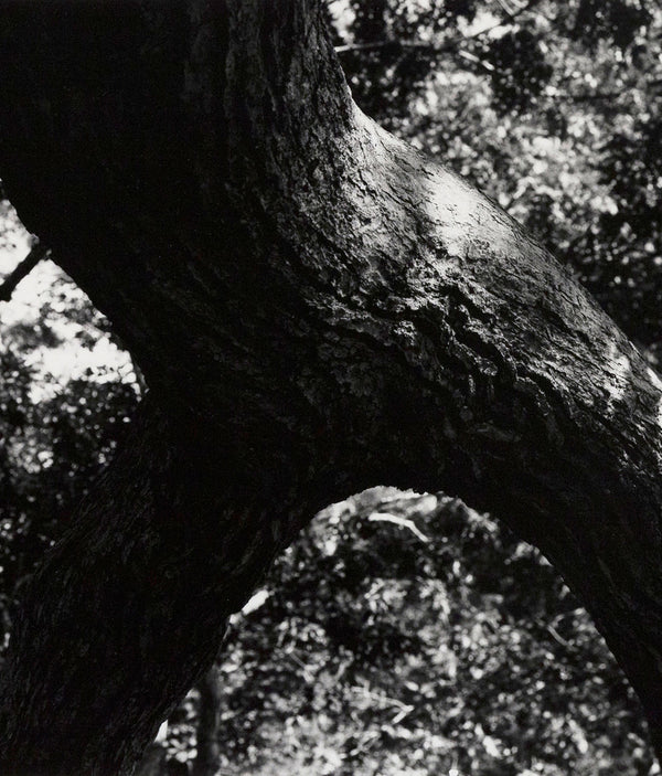 Caviar20 Aaron Siskind The Tree photo