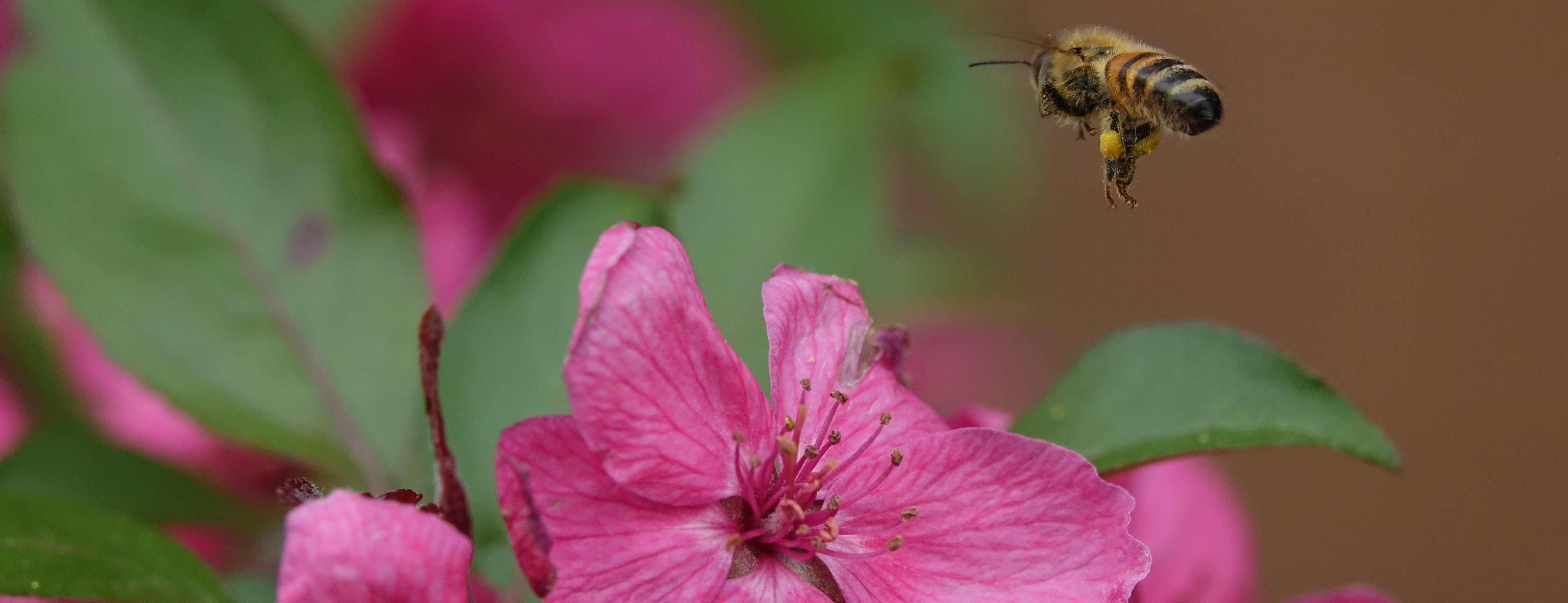 close up shot of a bee about to land on a flower petal