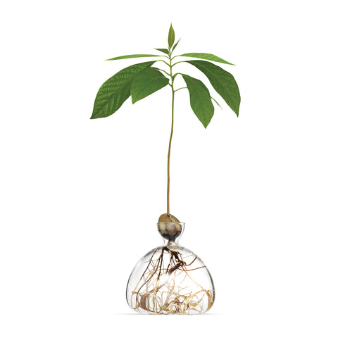 Roughly twelve inch tall avocado sapling with leaves growing inside clear vase showing magnified roots.