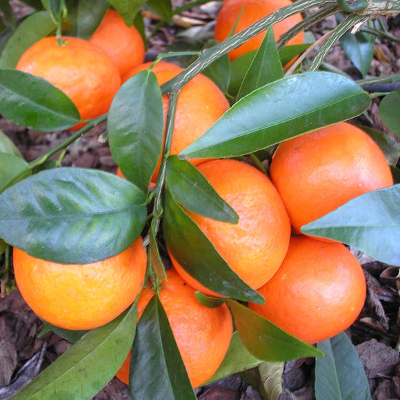Fremont Mandarins, Organic and Biodynamic