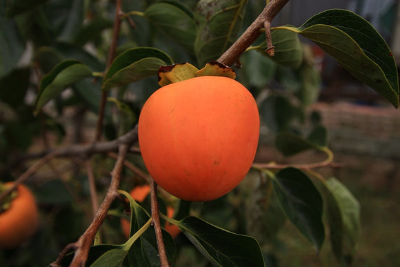Hachiya Persimmon, Organic and Biodynamic