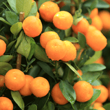 Kishu Mandarins, Organic and Biodynamic