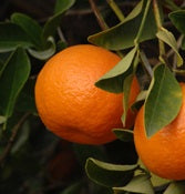 Dancy Mandarin Tangerines, Organic and Biodynamic