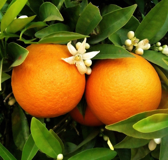 Washington Navel Oranges, Organic and Biodynamic
