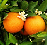 Washington Navel Oranges, Organic and Biodynamic, 10# Box