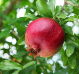 Pomegranates, Organic and Biodynamic