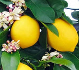 Meyer Lemons, Organic and Biodynamic