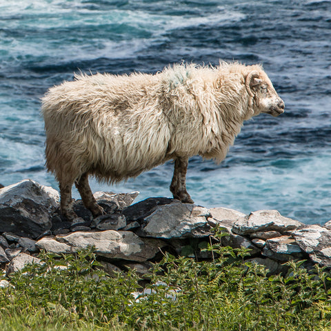 Cliff Sheep