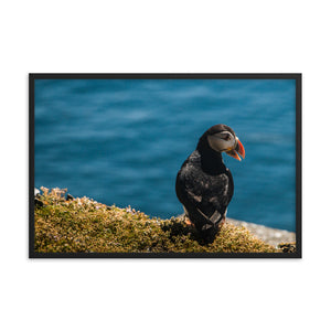 Summer Puffin - Framed photo paper poster