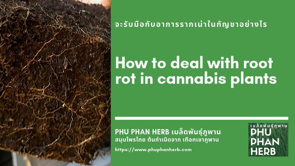 How to deal with root rot in cannabis plants