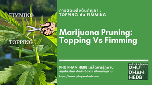 Marijuana Pruning: Topping Vs Fimming