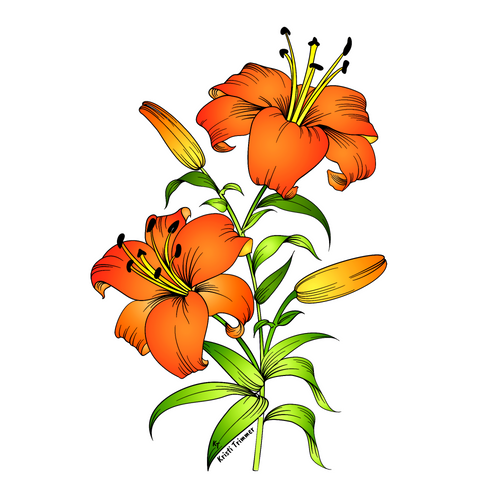 Flowers - Asiatic Lily