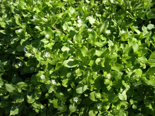 Whole Plant Tinctures: Chickweed
