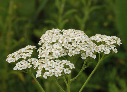 Whole Plant Tinctures: Yarrow (Available now in limited quantities)