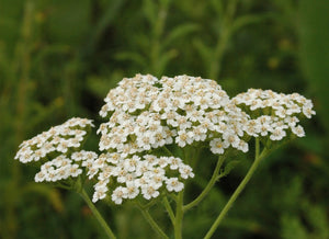 Whole Plant Tinctures: Yarrow