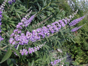 Whole Plant Tinctures: Vitex