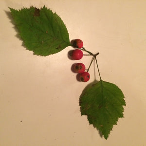 Hawthorn (Tincture and Dried Berries)
