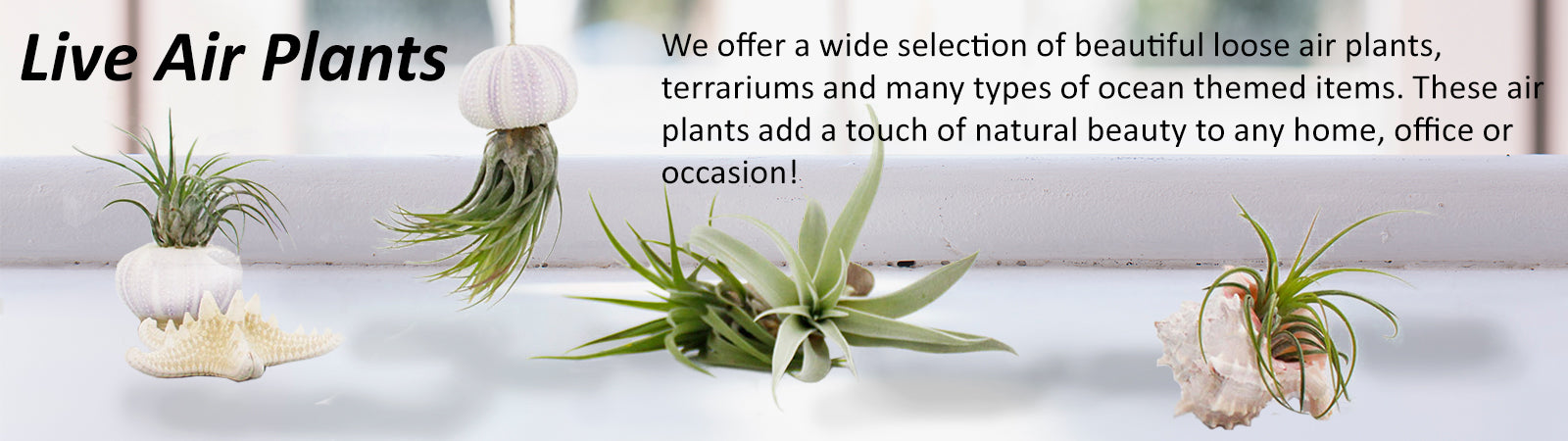 Small Indoor Live Air Plants Live Air Plants For Sale