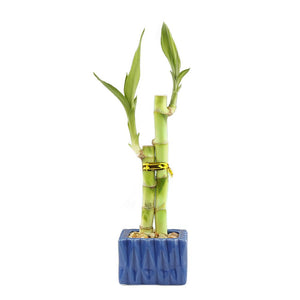 Two Stalk Lucky Bamboo with Square Accent Pot