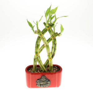 Braided lucky bamboo trellis with red ceramic buddha pot