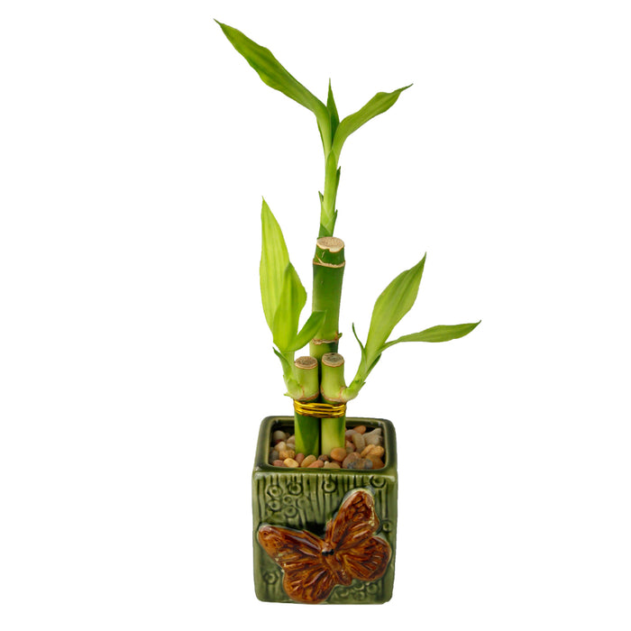 Three Stalk Lucky Bamboo with Green Butterfly Pot