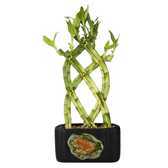 Live Lucky Bamboo 8 Stalk Braided Trellis with Frog & Lily Pot