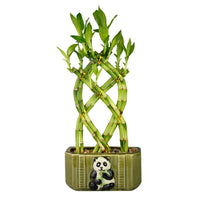 Live Lucky Bamboo 8 Stalk Braided Trellis with Panda Pot