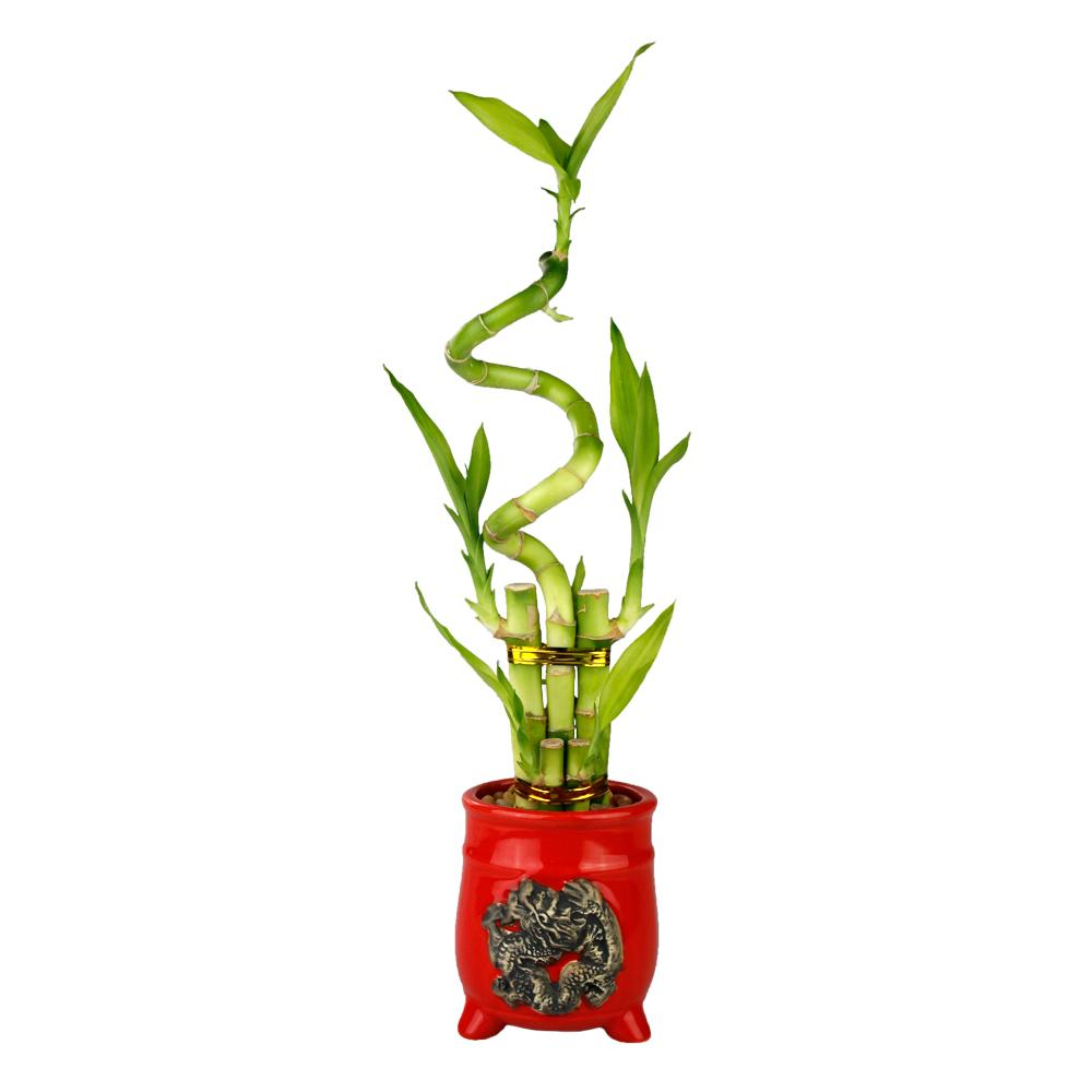 Five Stalk with Spiral Lucky Bamboo Arrangement with Red Ceramic Dragon Pot