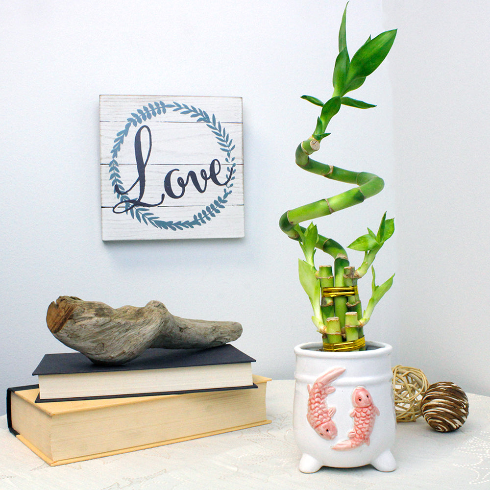 Five Stalk with Spiral Lucky Bamboo Arrangement with White Ceramic Koi Pot