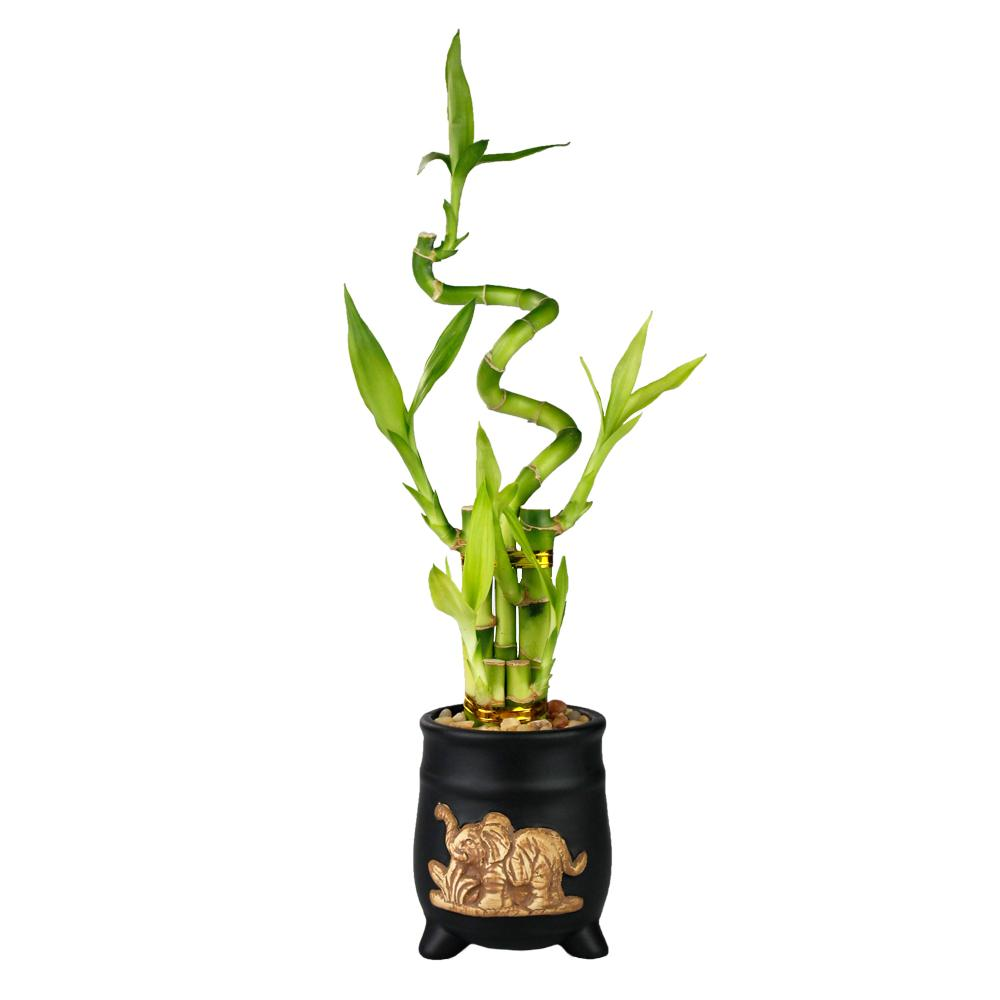 Five Stalk with Spiral Lucky Bamboo Arrangement with Black Ceramic Elephant Pot