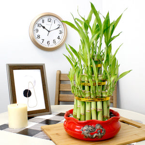 Three Tier Tower Lucky Bamboo Plant