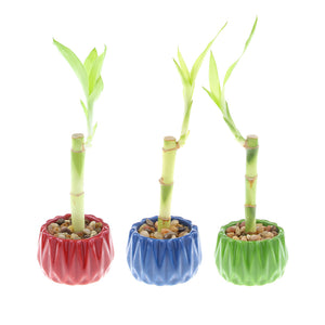 Single Stalk Lucky Bamboo with Round Accent Pot