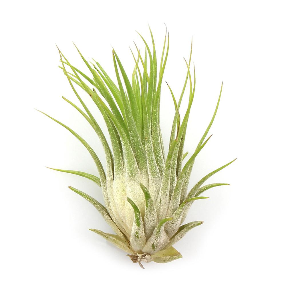 "Small Assorted Tillandsia Air Plant (1-2"")"