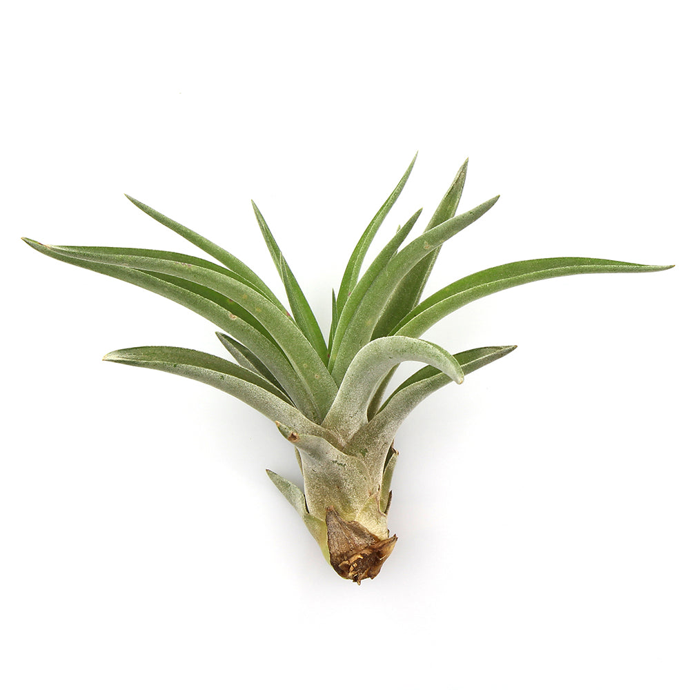 "Medium Assorted Tillandsia Air Plants (2-3"") (Set of 3)"