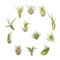 Set of 12 Tillandsia Air Plants - 4 each Small, Medium and Large