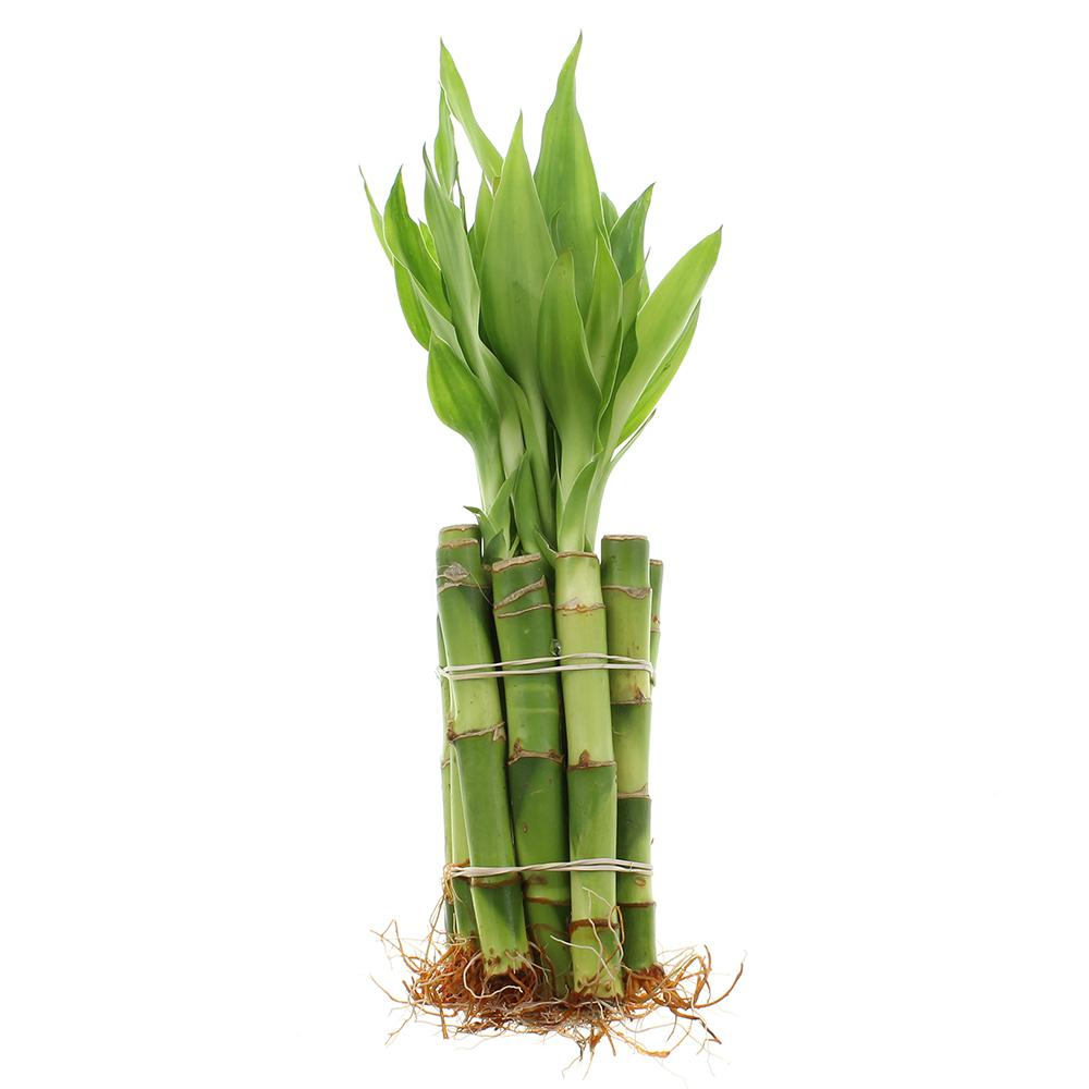 "4"" Lucky Bamboo Straight Stalks"