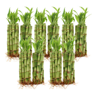 "6"" Lucky Bamboo Straight Stalks"