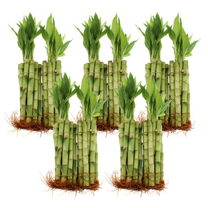 "8"" Lucky Bamboo Straight Stalks"