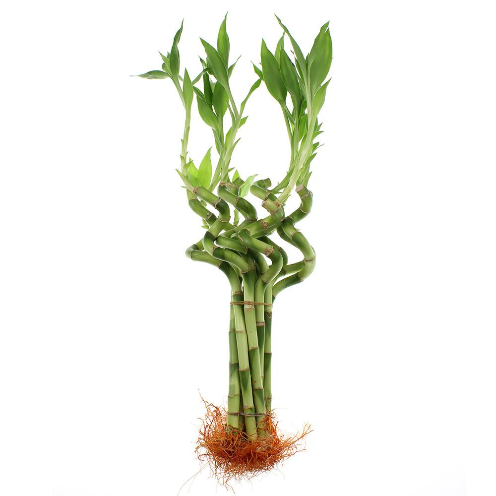 Lucky bamboo 8-inch spirals set of ten