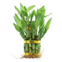 Two Tiered Tower Lucky Bamboo Plant